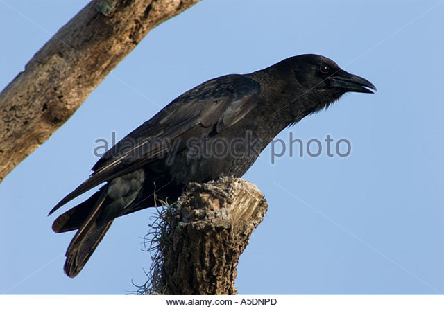 Perch crow stock photos perch crow stock images alamy for Fish crow call