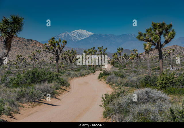 Snow Capped Mountains Loom Behind Joshua Tree Field with wide sandy trail - Stock Image