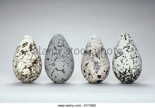 Western Foundation of Vertebrate Zoology California USA Common murre bird eggs Uria algea education - Stock-Bilder