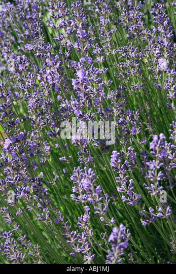 close up of Lavender, Lavandula angustifolia. Photo by Willy Matheisl - Stock Image