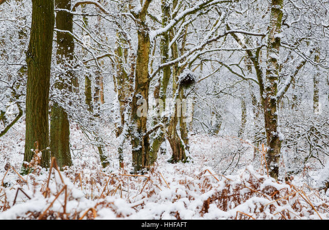 Mixed deciduous woodland in winter covered with snow - Stock Image