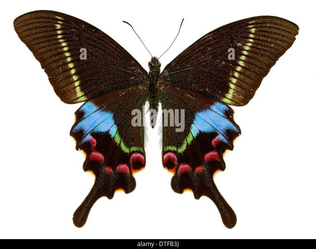 Papilio krishna, krishna peacock - Stock Image