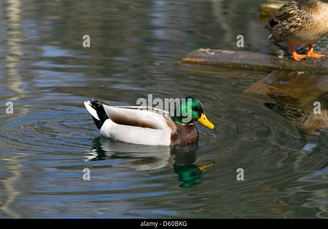 Mallard duck in Boise, Idaho, USA. - Stock Image