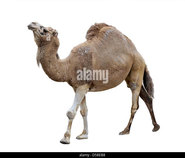 Single-Humped Camel On White Background - Stock Image