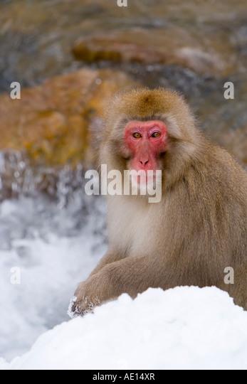Japanese macaque Macaca fuscata Snow monkey Joshin etsu National Park Honshu Japan - Stock Image
