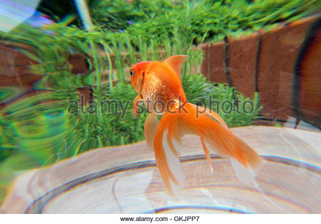 Goldfish swimming in a glass bowl in the garden - Stock Image