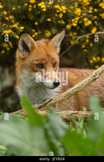 Captiive Red Fox (Vulpes vulpes) standing by gorse bush at The British Wildlife Centre, Newchapel, Lingfield, Surrey, - Stock Image