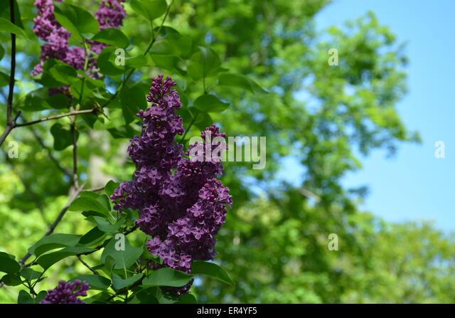 Lilacs Stock Photos Amp Lilacs Stock Images Alamy