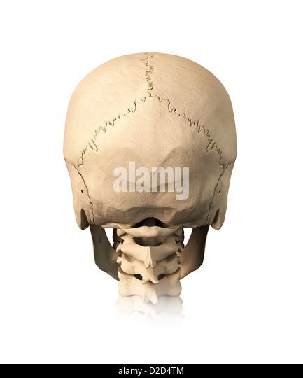 Human skull computer artwork - Stock Image