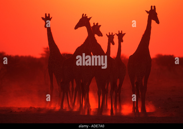 Southern Giraffe Giraffa camelopardalis subspp In silhouette against sunset Etosha N P Namibia - Stock Image