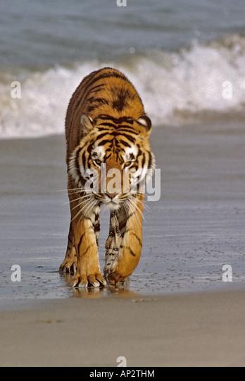 Bengal tiger Panthera tigris tigris in surf - Stock Image
