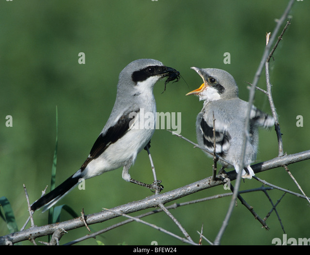 loggerhead shrike stock photos amp loggerhead shrike stock