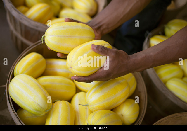 A farm growing and selling organic vegetables and fruit. A man harvesting striped squashes. - Stock Image