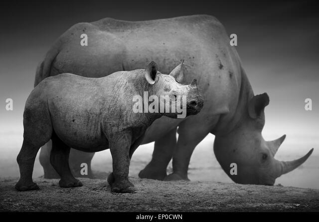 Black Rhinoceros calf (Diceros bicornis) standing with cow  at a waterhole - Etosha National Park - Stock Image