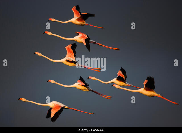 Greater flamingos (Phoenicopterus roseus) in flight, Camargue, France, April 2009. WWE INDOOR EXHIBITION - Stock Image
