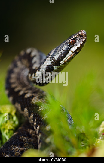 Menacing pose - Stock Image