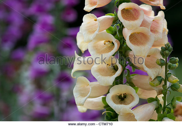 Digitalis purpurea 'Dalmatian Peach'. Dalmatian Series Foxglove - Stock Image