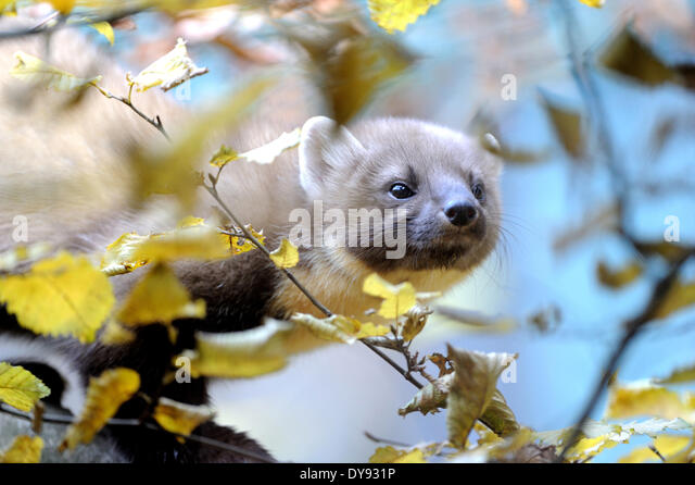 Pine marten sweet marten Martes martes marten golden robin predator predators canids autumn animal animals Germany - Stock Image