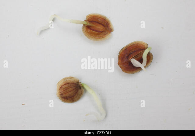 Pregerminated parsnip seeds showing developing root - Stock Image