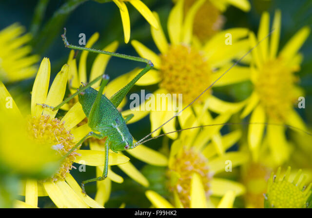 Speckled bush-cricket (Leptophyes punctatissima) large nymph on Common Ragwort (Senecio jacobaea) flowers. Carmarthen, - Stock Image
