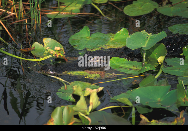 American Alligator hiding in lily pads, Everglades National Park - Stock Image