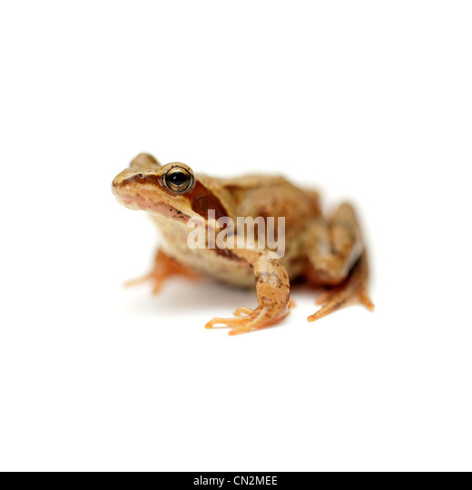 Garden toad, studio shot - Stock Image