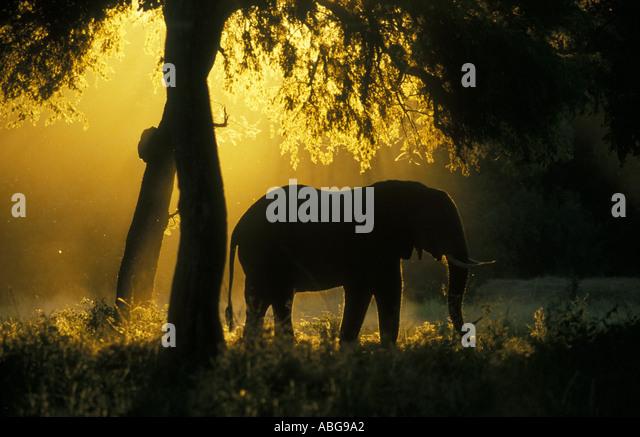 Elephant silhouetted against golden light Mana Pools National Park Zimbabwe Africa - Stock Image
