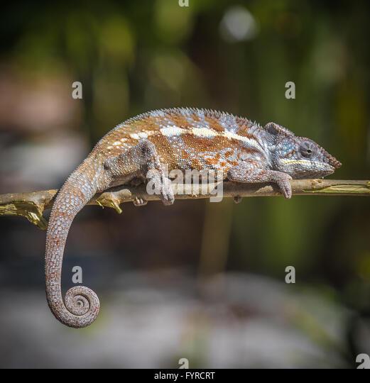 Chameleon Tail Stock Photos & Chameleon Tail Stock Images
