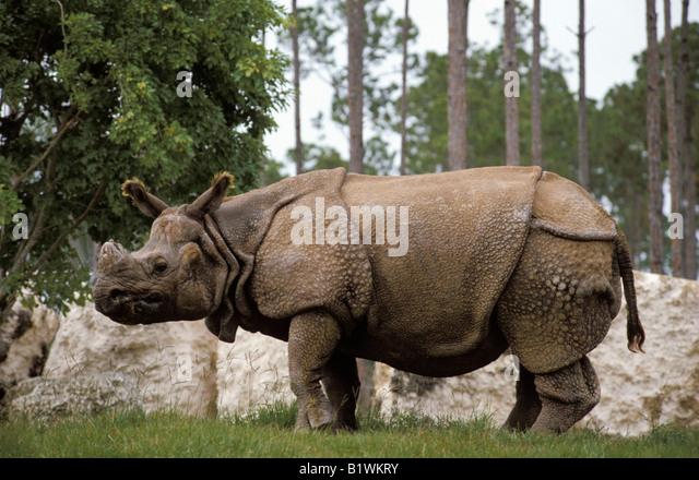 rhino indien Panzernashorn Great Indian Rhinoceros Greater Indian Rhinoceros Rhinoceros unicornis miami zoo animals - Stock-Bilder