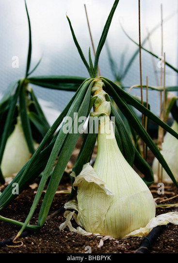 A patch of white onions - Stock Image