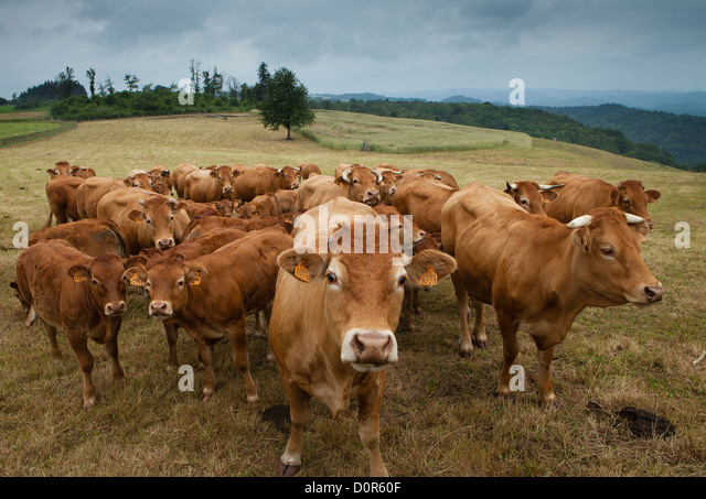 cattle in Corrèze, the Limousin, France - Stock Image