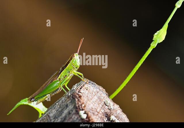 Grasshopper - Stock Image