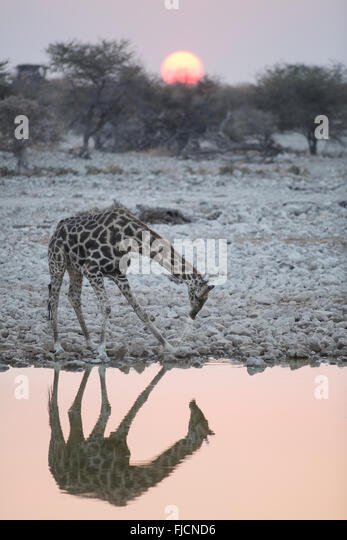 A giraffe drinks at a water hole - Stock Image