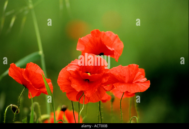 Typical wild poppies of the fields near Sarnano in Le Marche,Italy - Stock Image