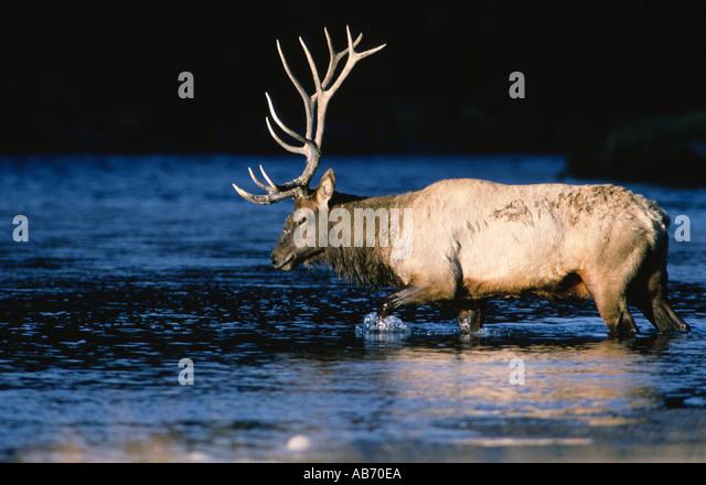 A 6x6 bull elk or wapiti crosses Madison River in early sun Yellowstone NP Wyoming Copyright Duane Burleson - Stock Image
