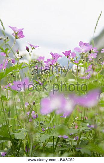 close-up of alpine flowers - Stock Image