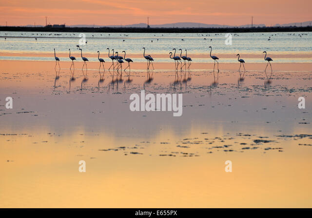 Greater flamingos (Phoenicopterus ruber) in a lake at sunset, Camargue, France, Europe - Stock-Bilder