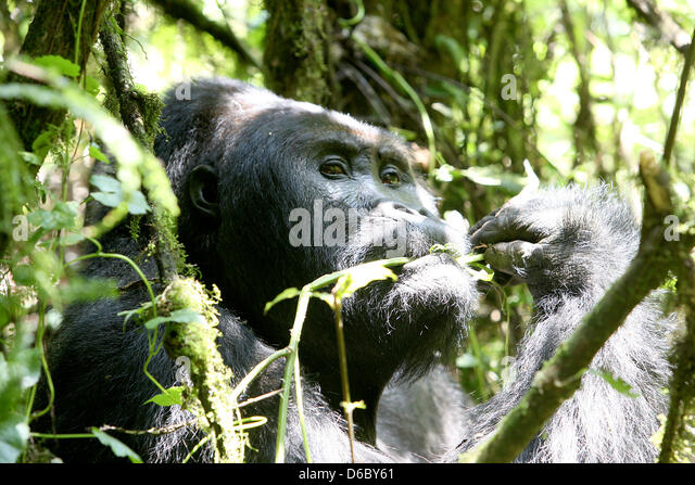 kahuzi biega national park stock photos kahuzi biega national park stock images alamy. Black Bedroom Furniture Sets. Home Design Ideas