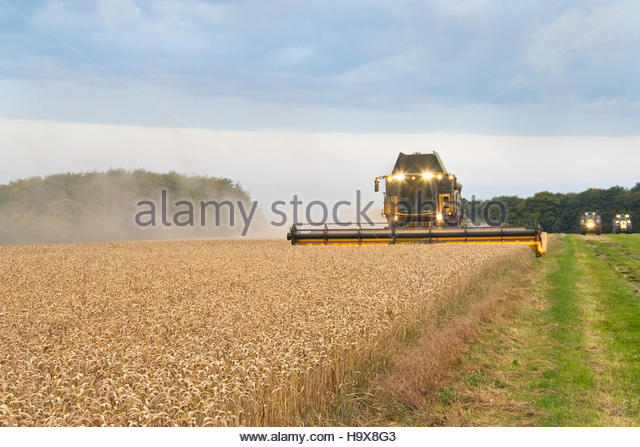Combine Harvester Harvesting Wheat Crop At Dusk - Stock Image