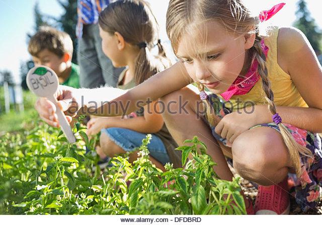 Girl placing basil sign in community garden - Stock Image