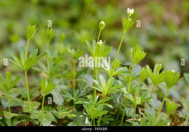 galium odoratum flowers stock photos galium odoratum. Black Bedroom Furniture Sets. Home Design Ideas