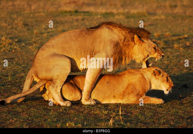 African Lion Panthera leo pair mating Masai Mara Kenya Africa - Stock Image
