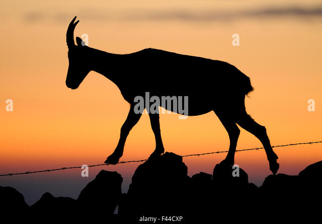Ibex (Capra ibex) silhouetted walking along a stone wall with barbed wire, Neuchatel, Switzerland, September. - Stock Image