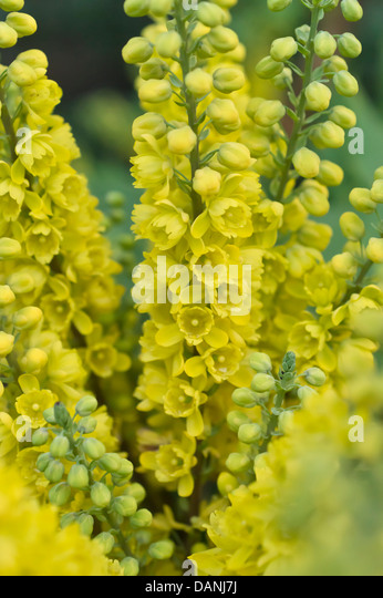 Mahonias stock photos mahonias stock images alamy for Mahonia japonica