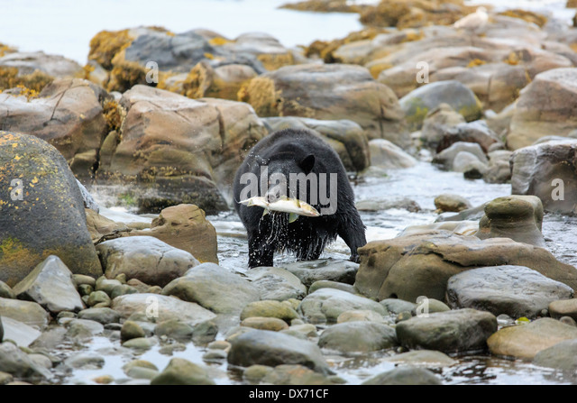 A black bear with a fish in it's mouth. - Stock Image