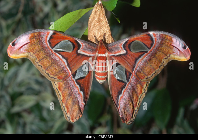 Largest moth in the world - photo#22