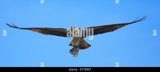 osprey, fish hawk (Pandion haliaetus), flying with caught Tilapia, USA, Florida, Kissimmee - Stock Image