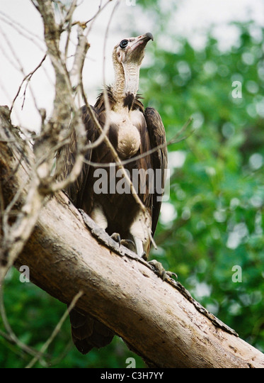 African White-backed Vulture.  Gyps africanus Mala mala Kruger South Africa - Stock Image