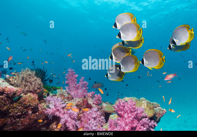 Panda butterflyfish swimming over soft corals on coral reef.  Andaman Sea, Thailand. - Stock Image