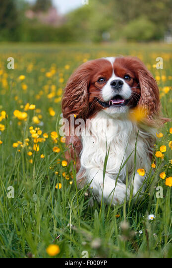 Cavalier King Charles Spaniel (Canis lupus f. familiaris), running over a flower meadow - Stock Image